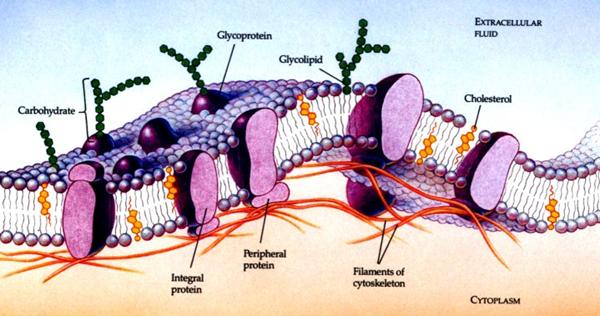 Three-dimensional structure of the animal cell membrane