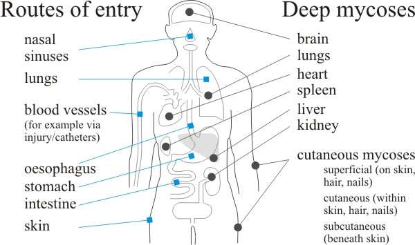 Routes of entry and distribution of the fungus diseases of humans