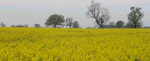 field of rape (canola)