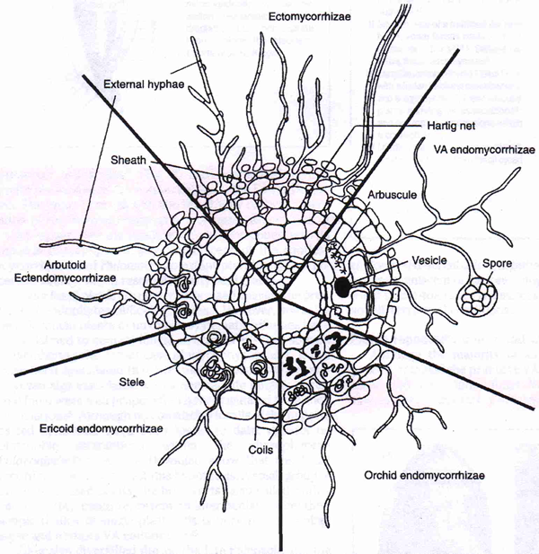 Pteridophyta diagram
